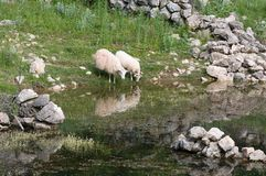Sheep at the waterhole Royalty Free Stock Images