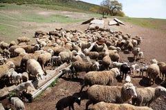 Sheep Watering Royalty Free Stock Photography