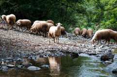 Flock of sheep near a stream Royalty Free Stock Photography