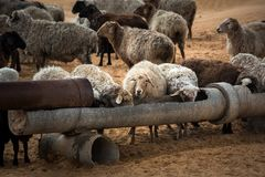 Sheep at a watering place in the steppe. White-brown color, aryk for animals stock image