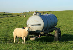 Sheep at watertank. Sheep in front of water tank on green dike Royalty Free Stock Image