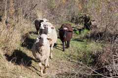 Sheep on the way to pasture Stock Photos