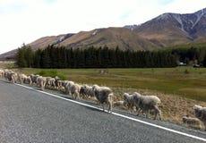 Sheep way Stock Images