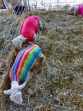 Sheep Wearing Spandex Lamb Tube at a County Fair. The 164th Great Allentown Fair, August 30th to September 5th 2016: Three sheep rest in the hay in their pen at royalty free stock image
