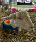 Sheep Wearing Spandex Lamb Tube at a County Fair. The 164th Great Allentown Fair, August 30th to September 5th 2016: Three sheep rest in the hay in their pen at royalty free stock photo
