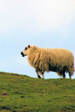 Sheep on welsh hillside Royalty Free Stock Photo