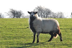 Sheep. Welsh mountain badger-face sheep in sunny field Stock Images