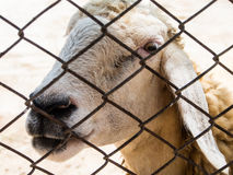 The sheep were caged The temple in Thailand. The sheep were fed at temples. Abstact close-up eyes short Stock Photo