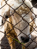 The sheep were caged The temple in Thailand. The sheep were fed at temples. Abstact close-up eyes short Stock Images