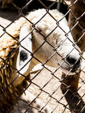 The sheep were caged The temple in Thailand. The sheep were fed at temples. Abstact close-up eyes short Royalty Free Stock Images