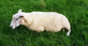 Sheep in Westerhever stock video footage