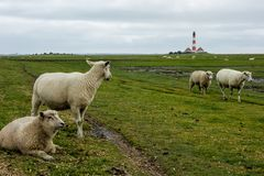 Sheep at the Westerhever Lighthouse in Schleswig-Holstein, Germany royalty free stock image
