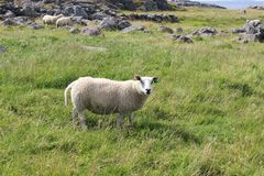 Sheep on the Western coast of the island Karmoy, Norway. Royalty Free Stock Photo