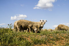 Sheep in wheat field, and summer Royalty Free Stock Photography