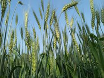 Sheep of wheat. Wheat is a grass widely cultivated for its seed, a cereal grain which is a worldwide staple food. The many species of wheat together make up the stock images