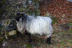 Sheep. White and black headed sheep Royalty Free Stock Photos