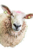 Sheep on white Royalty Free Stock Image