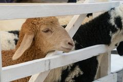 Sheep and the white fence royalty free stock image