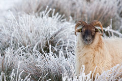 A sheep in a white field. In Holland Stock Photos
