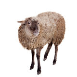 Sheep on the white Royalty Free Stock Image