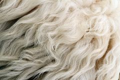 Sheep white fur Royalty Free Stock Images