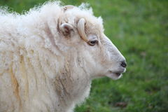 A sheep. A white sheep with horns Royalty Free Stock Images