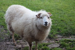 A sheep. A white sheep with horns Royalty Free Stock Photos