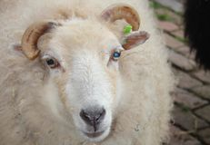 A sheep. A white sheep with horns Stock Photos