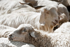 Sheep and white kashmir goat Royalty Free Stock Images