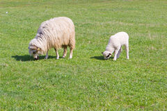 Sheep and white lamb on field Royalty Free Stock Image