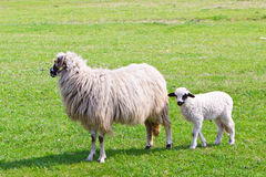 Sheep and white lamb on field Stock Images
