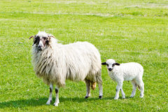 Sheep and white lamb on field Royalty Free Stock Images