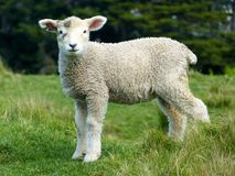 Sheep, White, Lambs, Goats, Animals Royalty Free Stock Images