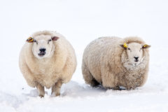 Sheep in a white winter landscape. Sheep in a cold white winter landscape Stock Photography
