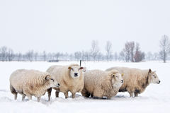 Sheep in a white winter landscape. Sheep in a cold white winter landscape Stock Photos