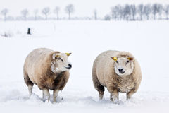Sheep in a white winter landscape Stock Photos