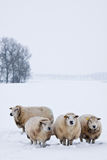 Sheep in a white winter landscape. Sheep in a cold white winter landscape Royalty Free Stock Photo