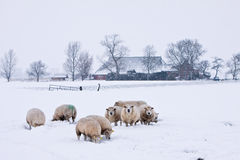 Sheep in a white winter landscape. Sheep in a cold white winter landscape Royalty Free Stock Images