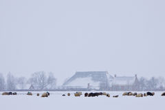 Sheep in a white winter landscape Royalty Free Stock Photography
