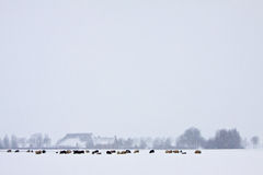 Sheep in a white winter landscape Stock Images