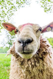 Sheep wide angle close Royalty Free Stock Images