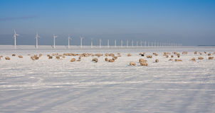 Sheep in the wide fields in wintertime. In the Netherlands royalty free stock images