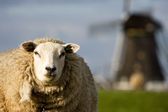 Sheep and windmill Royalty Free Stock Photo