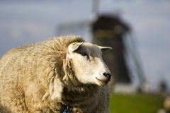 Sheep and windmill Royalty Free Stock Image