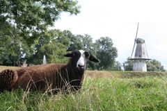 Sheep and windmill. Sheep on the foreground of the white windmill of Woudrichem in Holland Royalty Free Stock Images