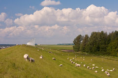 Sheep and windmill. In the Netherlands with sheep and windmill stock image