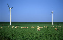 Sheep in the Windpark. Wooly sheep feasting on green grass at a windpark with modern windmills in the Netherlands Stock Images