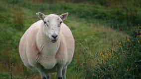 Sheep On Windy Hillside stock video