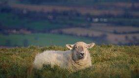 Sheep on windy hilltop. Sheep chewing grass lying in the grass on hill stock footage