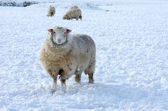 Sheep in winter Stock Image